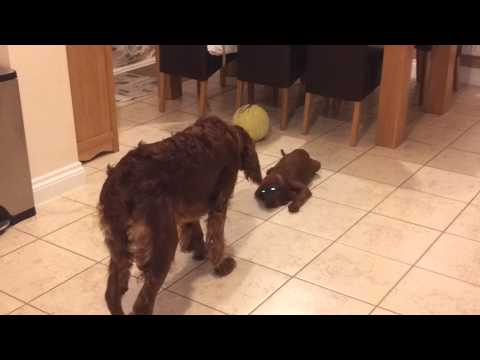 Maya Irish Setter meets Toffee our new Puppy