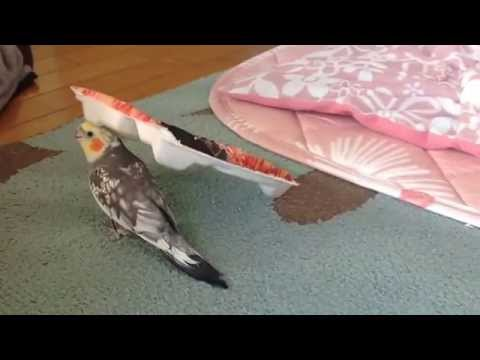 "Cockatiel Whistles ""If You'r.."