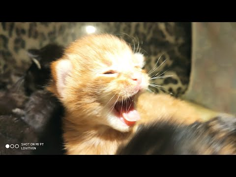 Котята Мейн Кун VIII  сезон.