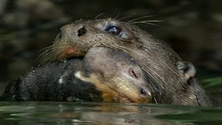 Otter Cubs Get a Swimming Lesson | BBC Earth