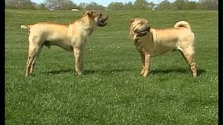 Chinese Shar Pei - Akc Dog Breed Series