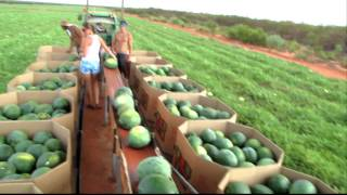 Mellon picking in Australia