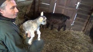 Les superbes chèvres de GILLES.