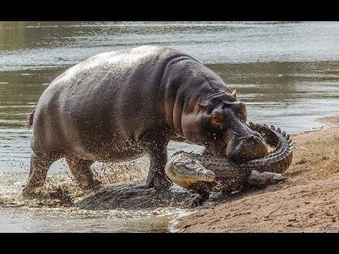 Битва Титанов.  Бегемот против крокодила. Самые опасные пресноводные Африки