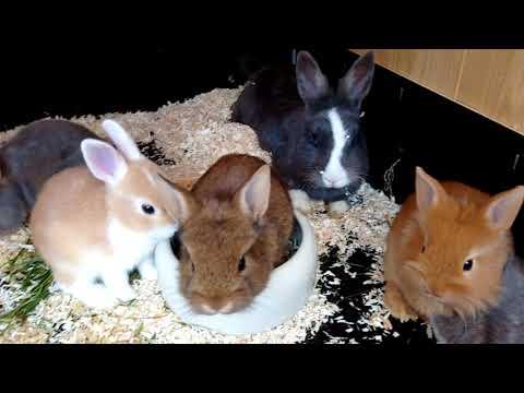 Как получить помесных кроликов. Какая помесь будет удачна. Кролики рексы.