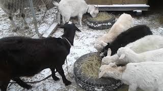 Удобные  переносные кормушки для коз.