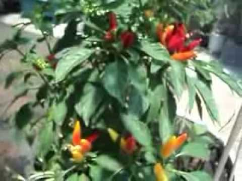Thai Dragon pepper