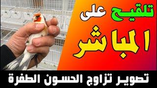 تزاوج طيور الحسون الطفرة على المباشر، فيديو من المربي الفلسطيني محمد ابو لبدة