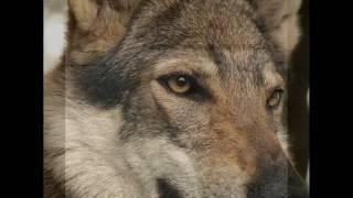 Как выглядят породы собак (Волкособ-гибридНемецкой овчарки и волка)