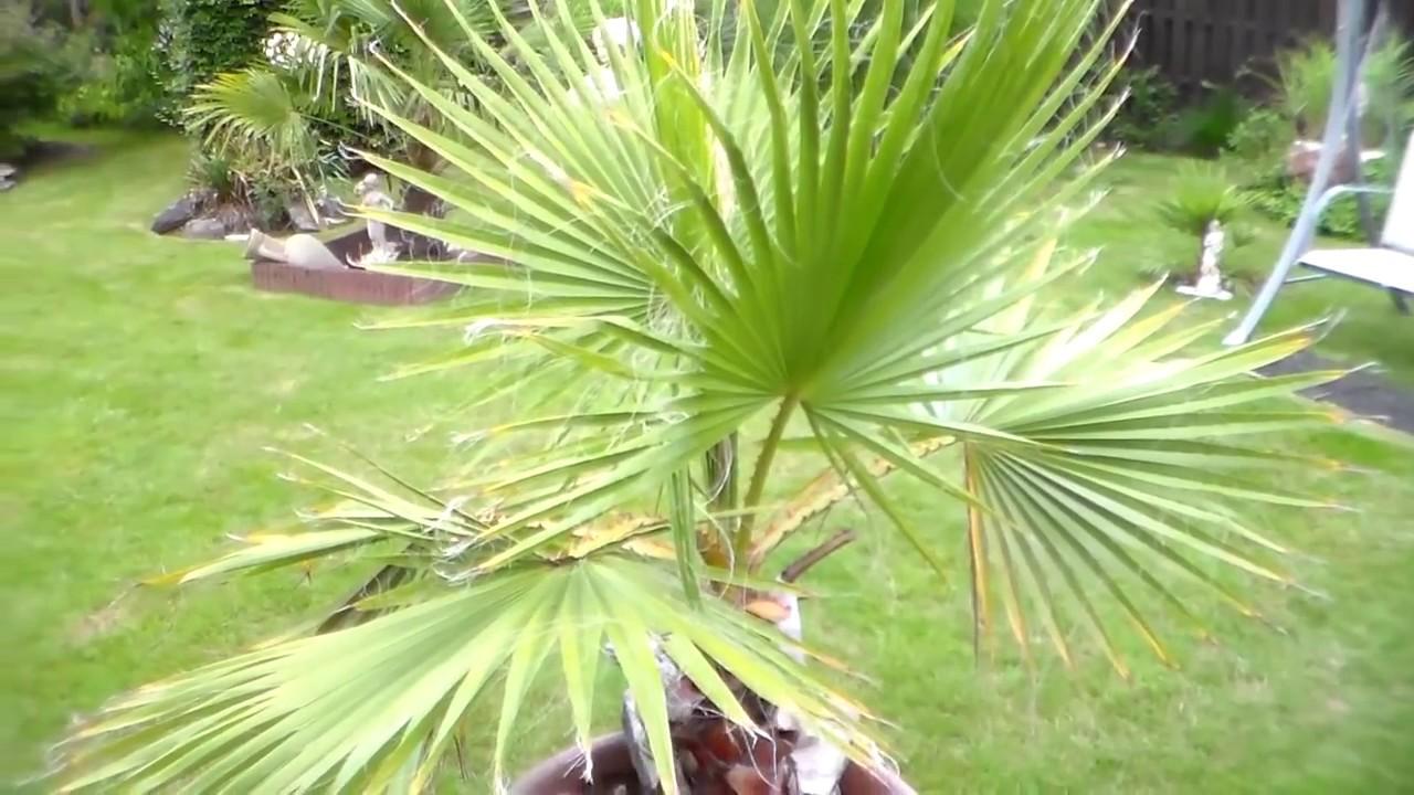 germination graines de palmiers youtube. Black Bedroom Furniture Sets. Home Design Ideas