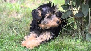 Havanese Poodle Mix Price