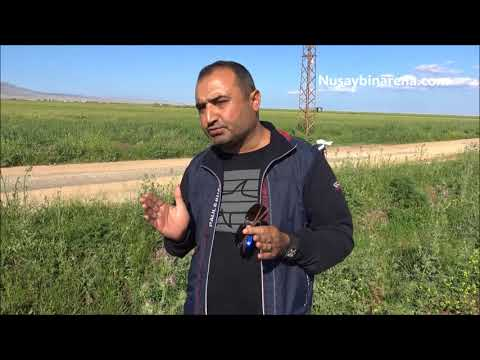 Nusaybin'de Domuz sürüsü köylülerin ekinlerine zarar verdi