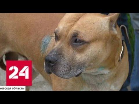 Бойцовская собака напала