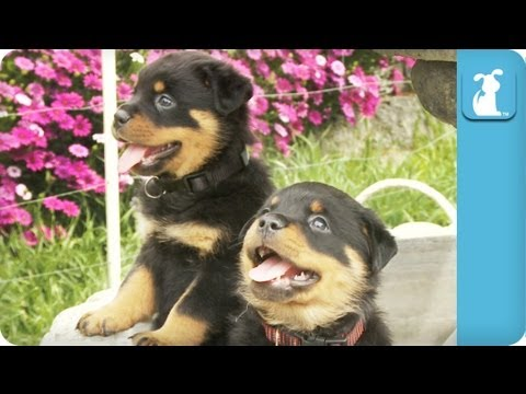 Really Cute Rottweiler Puppies In A Fountain - YouTube