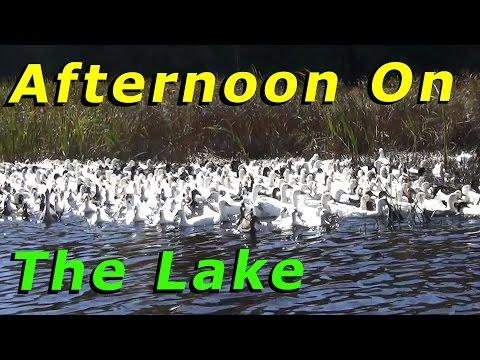 2 Dead Ducks & An Afternoon On Lake With The Ducks #53 Raising Free Range Ducks