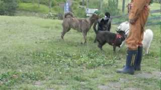 ドッグランで遊ぶ日本犬達。甲斐犬と北海道犬。