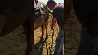 Teaching a mustang or horse that kicks to pick up back feet