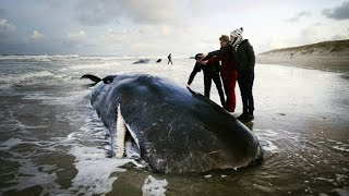 Potvissen aangespoeld bij Texel