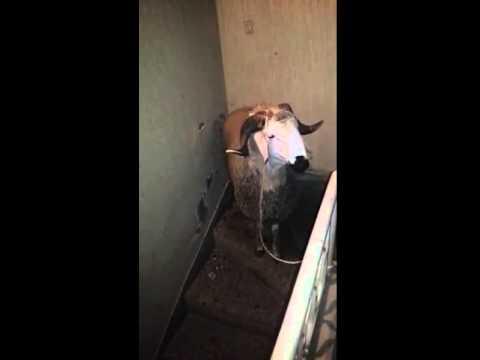 Le plus beau mouton du monde youtube Les plus beaux hommes du monde