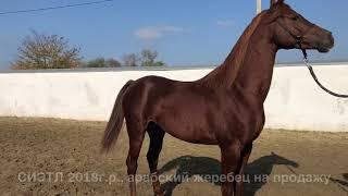 СИЭТЛ Часть 1. Продажа лошадей, арабская чистокровная, жеребец #арабская #лошадь #жеребец #Айғыр