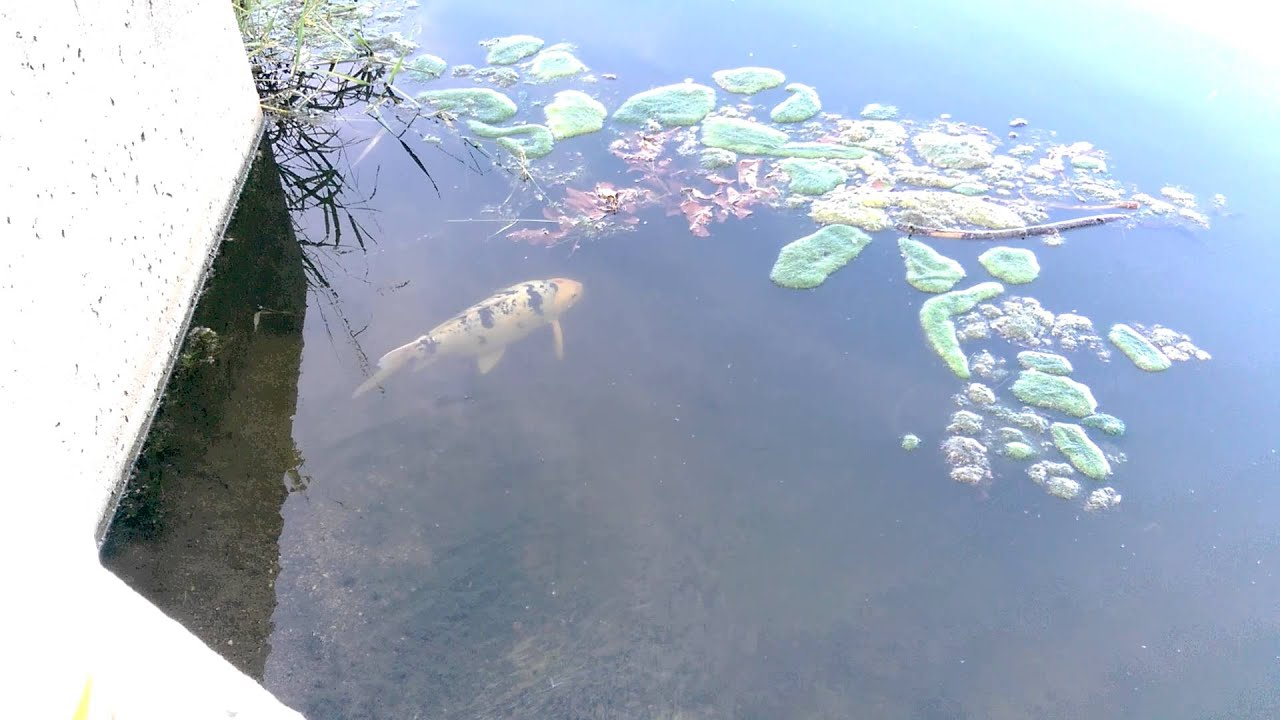 Wild koi fish in pond youtube for Wild koi fish