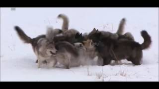 Wolf Pack vs 2 coyotes
