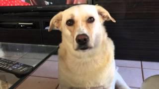 かわいい犬,おねだりする犬,ラブラドールミックス犬マル,太った犬,食欲...