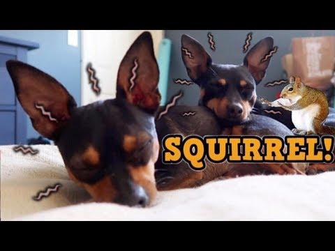 When Dogs Hear a SQUIRREL! - ChiPin (Chihuahua/Miniature Pinscher) Dogs