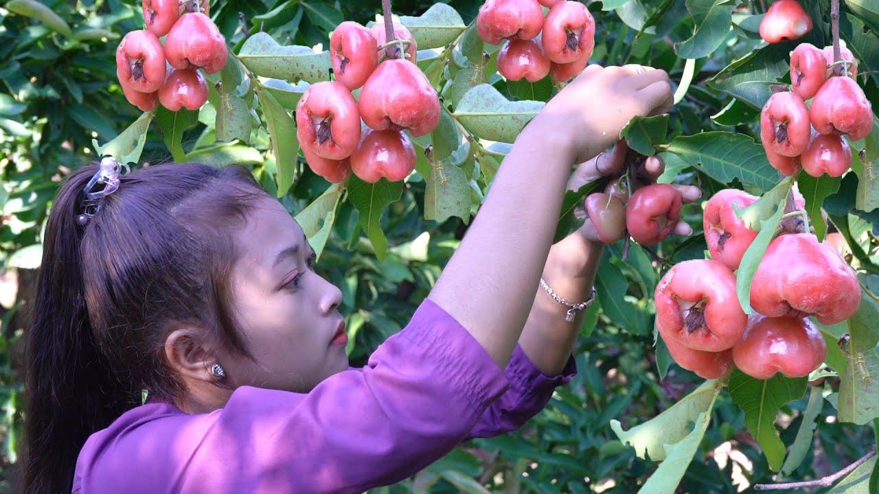 Harvest Rose apple fruit in my village | Rose apple fruit with salt chili for snack