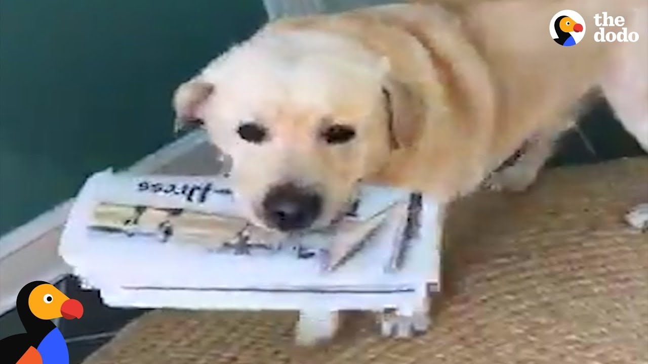 Dog Loves To Fetch The Paper For Dad Every Morning | The Dodo
