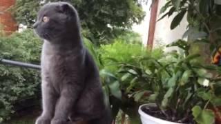 Ксюша - Шотландская вислоухая кошка 4 месяца