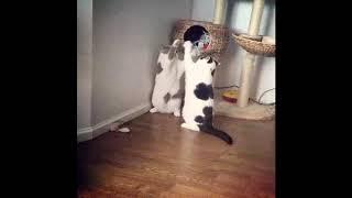 Ладушки по кошачьи. Смешные короткие видео про животных и хозяев