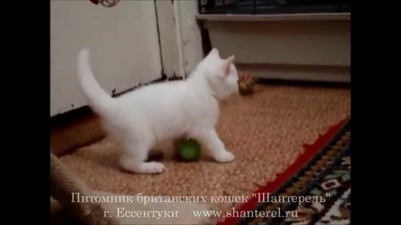 Шотландские вислоухие котята знакомятся - YouTube