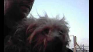 23 03 09 Yorkshire Terrier/small/black-tan/male
