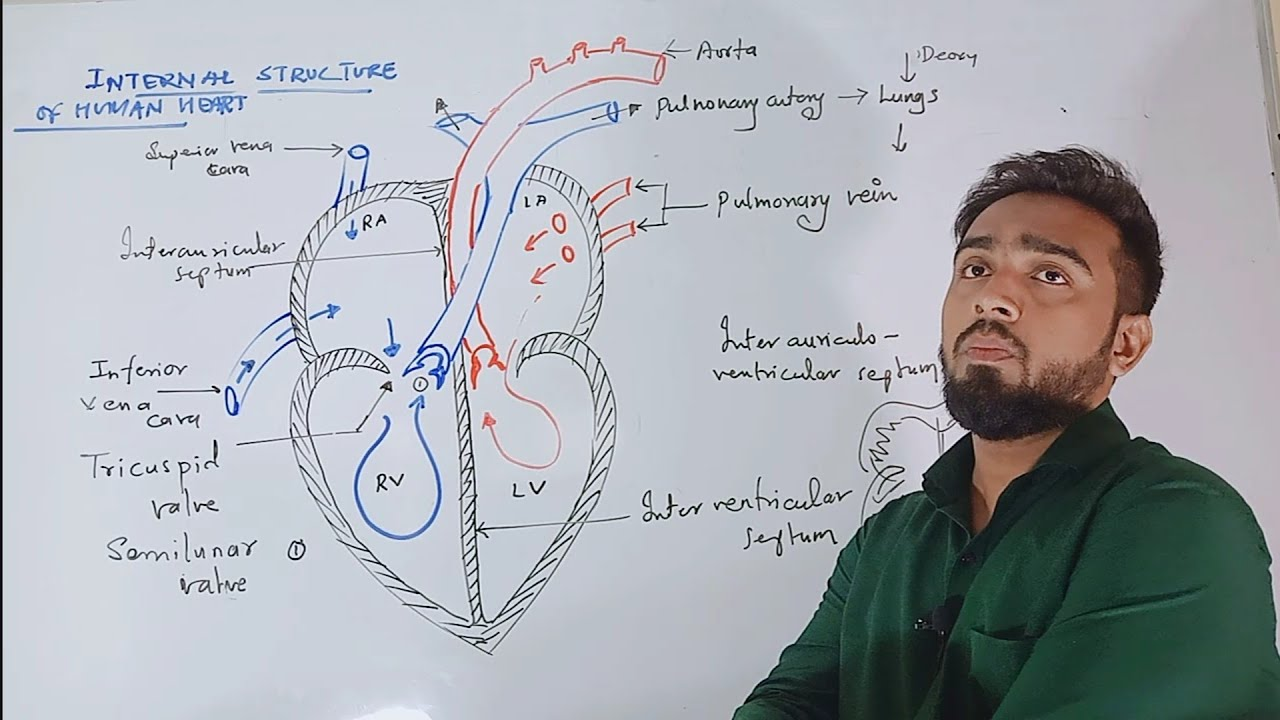 Circulation of Blood Internal Structure of Human heart ...
