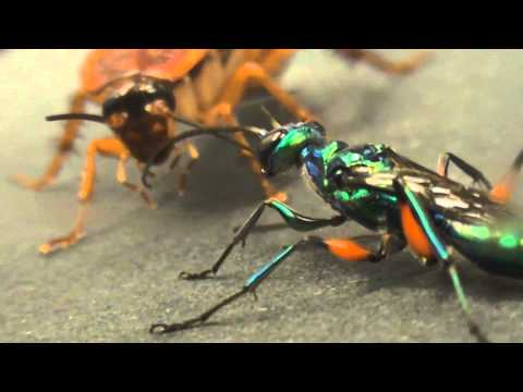 Hornet Vs Praying Mantis Beautiful wasp zombifi...