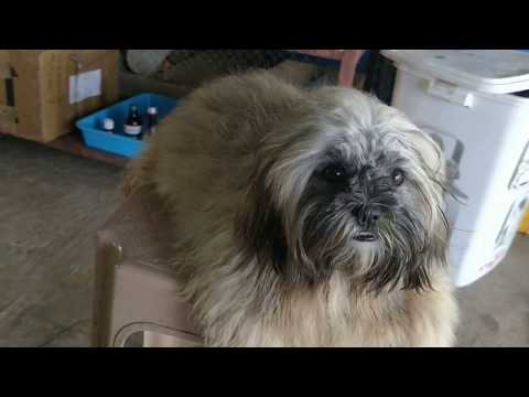 ARM Dog Kennel : Show Quality Lhasa Apso Female Grooming In India