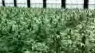 Cypress Hill-Ganja Love