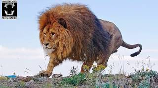 Barbary Lion   The Largest Lion in the World (Compilation #1)