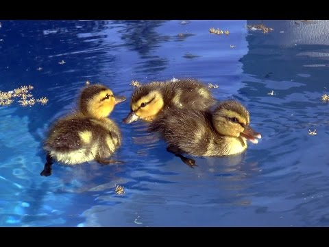 Baby ducks in my pool!First day of life.An amazing story.