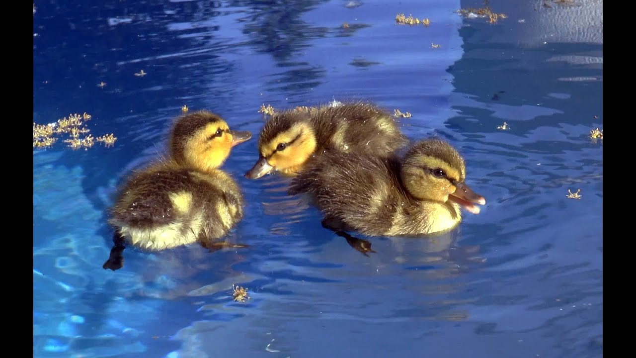 Baby Ducks In My Pool First Day Of Life An Amazing Story Youtube