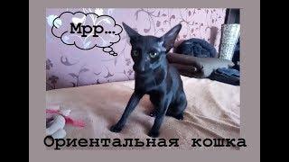 Ориентальная кошка приносит игрушку - 2! Дрессированный котэ! Приколы с котами! cat like a dog!
