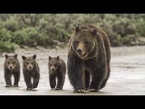 Grizzly: The Story of Mother Grizzly 399 and the Bears of Yellowstone