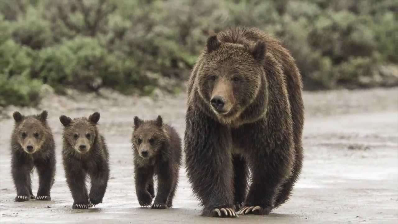 Grizzly The Story Of Mother Grizzly 399 And The Bears Of
