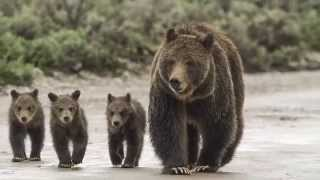 """In """"grizzly: the bears of greater yellowstone"""", renowned nature photographer thomas d. mangelsen and environmental writer todd wilkinson team up to tell ..."""