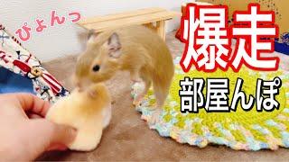 【爆走】デグーのハイテンション部屋んぽが可愛すぎる!!【 High tension degu 】