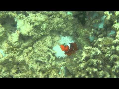Clown Fish (Nemo) Taman Nasional 17 Pulau ,Riung,Ngada,NTT Part 1 (pulau rutong)