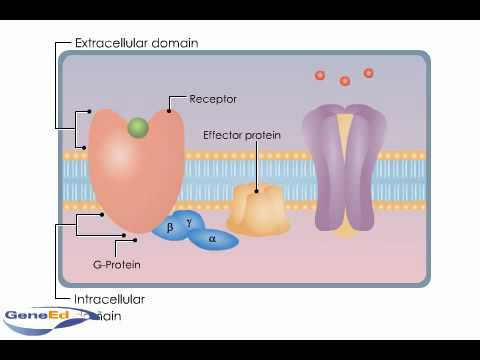 G-Protein Coupled Receptors.mp4