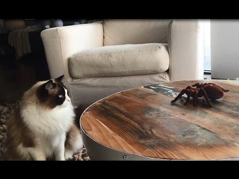 Timo the Ragdoll Cat Meets Spider