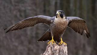 Какая самая быстрая птичка?